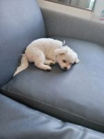 Maltese Puppies for sale in Idaho Falls, ID, USA. price: NA