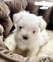 Maltese Puppies for sale in Annapolis, MD, USA. price: NA