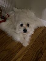 Maltese Puppies for sale in Ballwin, MO, USA. price: NA
