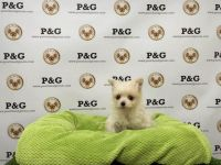 Malti-Pom Puppies for sale in Los Angeles, CA, USA. price: NA