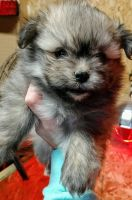 Malti-Pom Puppies for sale in Louisville, KY, USA. price: NA