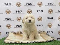 Malti-Pom Puppies Photos