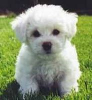 Malti-Pom Puppies for sale in Hackettstown, NJ 07840, USA. price: NA