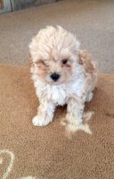 Malti-Pom Puppies for sale in Pottstown, PA 19464, USA. price: NA