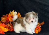 Malti-Pom Puppies for sale in 114-34 121st St, Jamaica, NY 11420, USA. price: NA