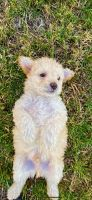 Malti-Pom Puppies for sale in San Diego, CA, USA. price: NA