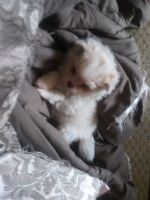 Malti-Pom Puppies for sale in Montville, OH 44064, USA. price: NA