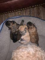 Malti-Pom Puppies for sale in Tampa, FL, USA. price: NA