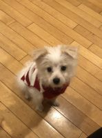 Malti-Pom Puppies for sale in North Hollywood, CA 91605, USA. price: NA
