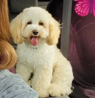 Maltipoo Puppies for sale in Katy, TX, USA. price: NA