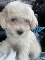 Maltipoo Puppies for sale in Charlotte, NC, USA. price: NA