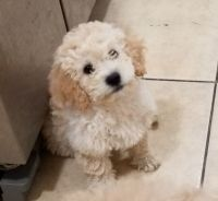 Maltipoo Puppies for sale in Inglewood, CA, USA. price: NA