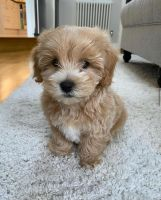 Maltipoo Puppies for sale in New York, NY, USA. price: NA