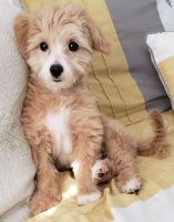 Maltipoo Puppies for sale in Las Vegas, NV, USA. price: NA