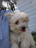 Maltipoo Puppies for sale in Syracuse, NY, USA. price: NA