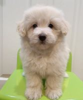 Maltipoo Puppies for sale in Fremont, CA, USA. price: NA