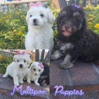 Maltipoo Puppies for sale in Stockton, CA 95207, USA. price: NA