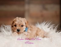 Maltipoo Puppies for sale in Holly Springs, NC, USA. price: NA
