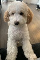 Maltipoo Puppies for sale in Riverside, CA 92505, USA. price: NA
