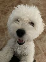 Maltipoo Puppies for sale in Round Rock, TX, USA. price: NA