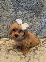 Maltipoo Puppies for sale in Lodi, CA, USA. price: NA