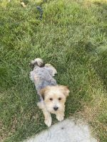 Maltipoo Puppies for sale in Caldwell, ID, USA. price: NA