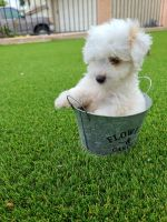 Maltipoo Puppies for sale in Oceanside, CA, USA. price: NA