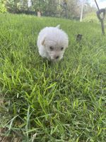 Maltipoo Puppies for sale in Austin, TX, USA. price: NA