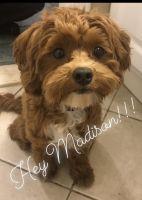 Maltipoo Puppies for sale in Westland, MI, USA. price: NA