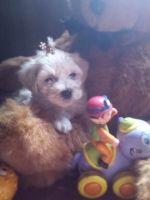 Maltipoo Puppies for sale in Tumtum, WA, USA. price: NA