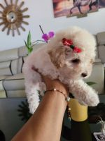 Maltipoo Puppies for sale in Palmdale, CA, USA. price: NA