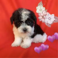 Maltipoo Puppies for sale in San Francisco, CA, USA. price: NA