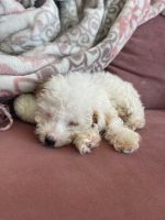 Maltipoo Puppies for sale in Los Angeles, CA, USA. price: NA