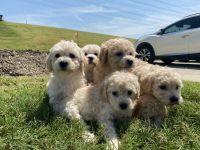 Maltipoo Puppies for sale in Dallas, TX, USA. price: NA