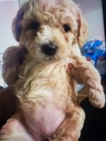 Maltipoo Puppies for sale in Plano, TX, USA. price: NA