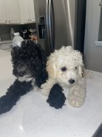 Maltipoo Puppies for sale in Richmond, TX, USA. price: NA