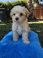 Maltipoo Puppies for sale in Sacramento, CA, USA. price: NA