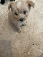Maltipoo Puppies for sale in Westminster, CA 92683, USA. price: NA