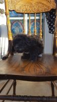 Maltipoo Puppies for sale in Midway City, CA 92655, USA. price: NA