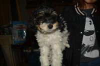Maltipoo Puppies for sale in Winnetka, Los Angeles, CA, USA. price: NA