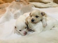Maltipoo Puppies for sale in Federal Way, WA, USA. price: NA