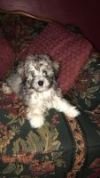 Maltipoo Puppies for sale in Land O' Lakes, FL, USA. price: NA
