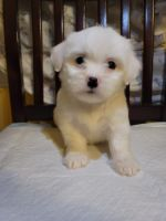 Maltipoo Puppies for sale in Los Angeles, CA 90044, USA. price: NA