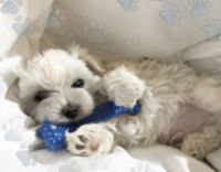 Maltipoo Puppies for sale in Spickard, MO 64679, USA. price: NA