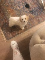 Maltipoo Puppies for sale in Riverbank, CA, USA. price: NA