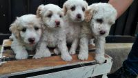 Maltipoo Puppies for sale in Beverly Hills, CA 90210, USA. price: NA