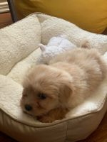 Maltipoo Puppies for sale in 7448 Le Conte Dr, El Paso, TX 79912, USA. price: NA