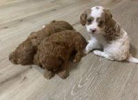 Maltipoo Puppies for sale in San Diego, CA, USA. price: NA