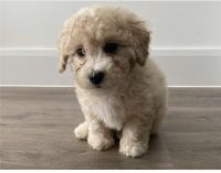Maltipoo Puppies for sale in San Bernardino, CA, USA. price: NA