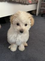 Maltipoo Puppies for sale in San Pedro, CA 90731, USA. price: NA